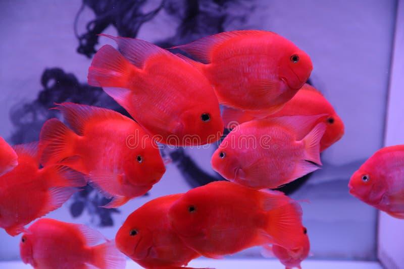 Διακοσμητικά ψάρια, πολύ όμορφα στοκ φωτογραφίες με δικαίωμα ελεύθερης χρήσης