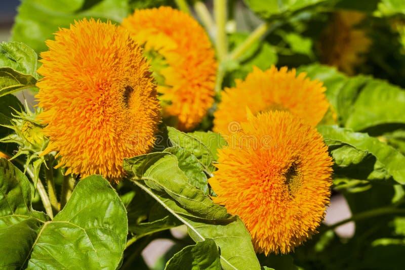 Διακοσμητικές ποικιλίες των ηλίανθων στον κήπο Φωτεινά πορτοκαλιά λουλούδια στην πλήρη άνθιση Εκλεκτική εστίαση, κινηματογράφηση  στοκ φωτογραφίες