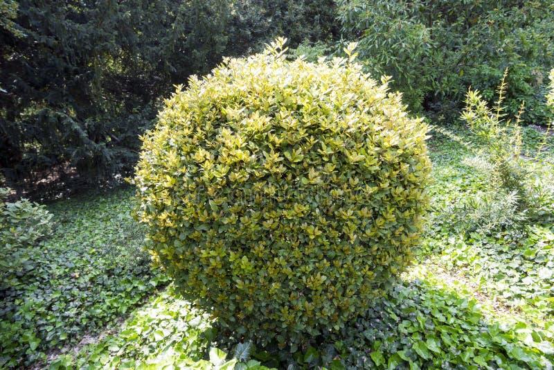 Διακοσμητικός θάμνος υπό μορφή ανοικτό πράσινο σφαίρας στοκ εικόνες