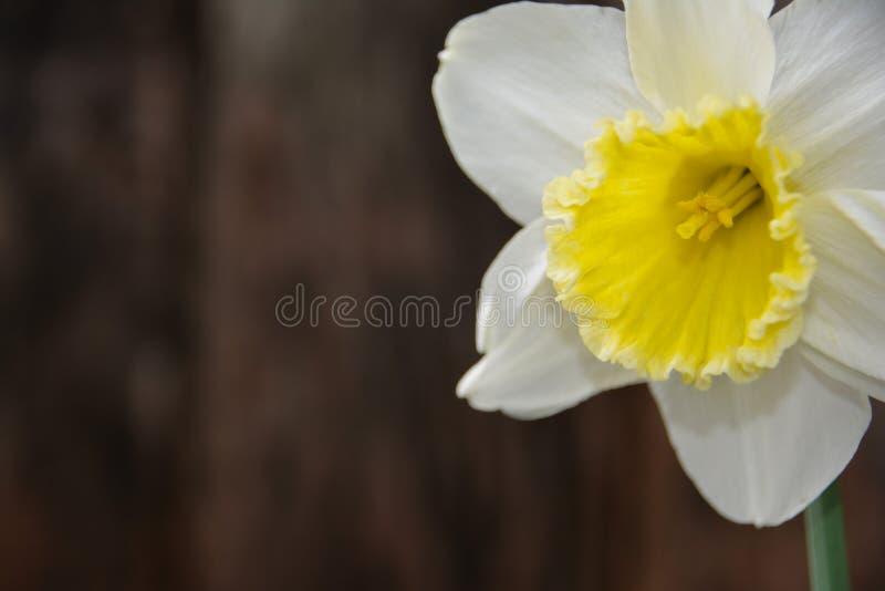 Διακοσμητικό στοιχείο Daffodil στοκ εικόνες