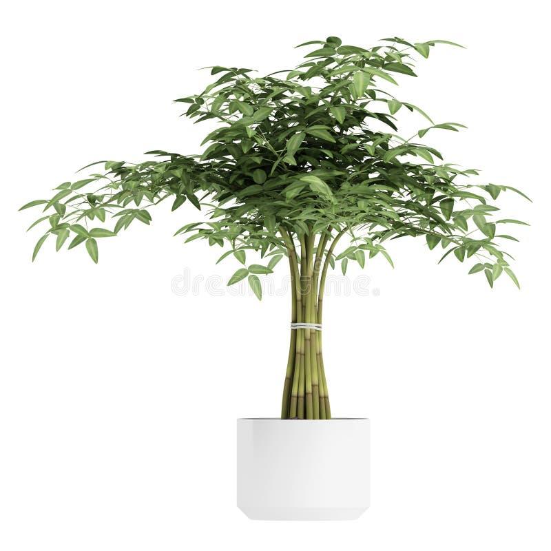 Διακοσμητικό bambpoo houseplant διανυσματική απεικόνιση