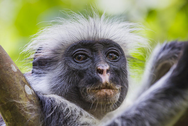 Διακυβευμένος πίθηκος colobus Zanzibar κόκκινος (kirkii Procolobus), Joza στοκ εικόνες με δικαίωμα ελεύθερης χρήσης