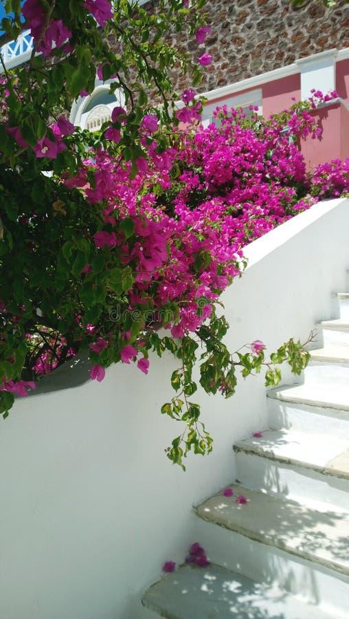 Διακόσμηση στην οδό: ανθίζοντας φωτεινός ρόδινος καταρράκτης λουλουδιών που μειώνεται κάτω από το δέντρο από τα σκαλοπάτια κάθετο στοκ εικόνες