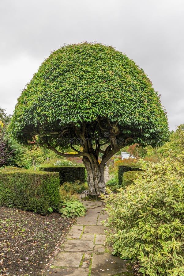 Διαμορφωμένο μανιτάρι δέντρο στους εξωραϊσμένους το Castle κήπους Crathes, Σκωτία στοκ φωτογραφία