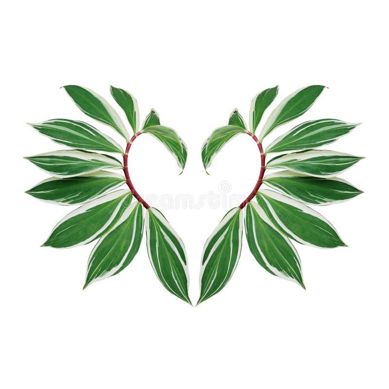 Διαμορφωμένο το καρδιά σχεδιάγραμμα φύλλων φύσης της πράσινης διαφοροποιημένης σπείρας crepe η πιπερόριζα με το κόκκινο speciosus στοκ εικόνες με δικαίωμα ελεύθερης χρήσης