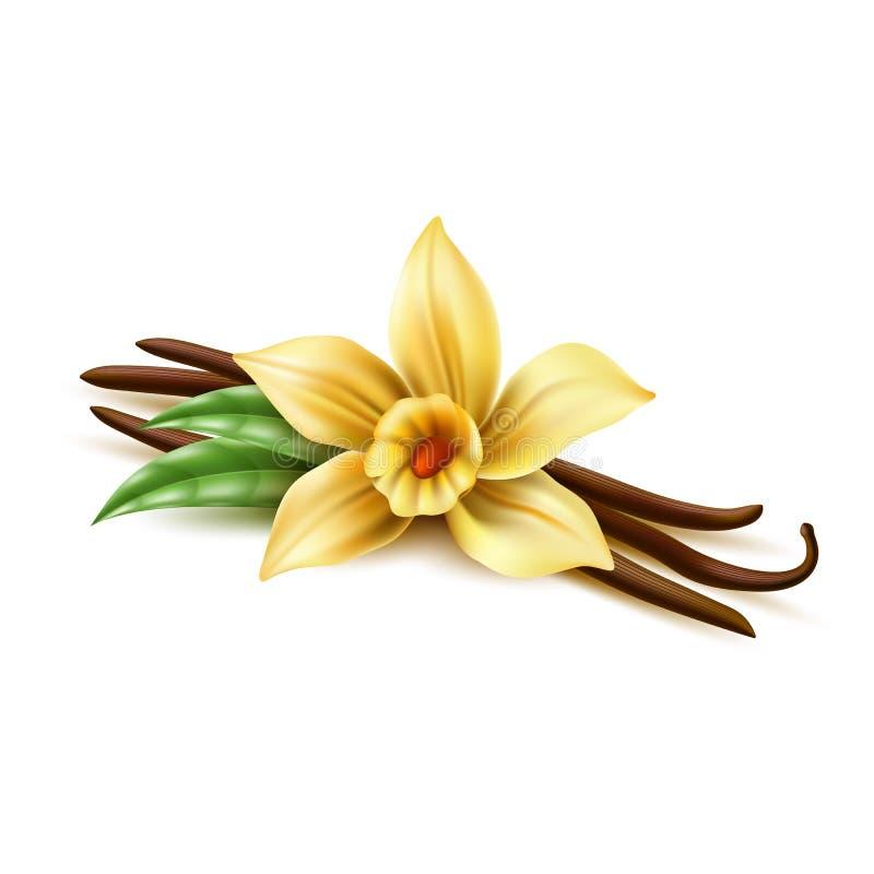 Διανυσματικά ρεαλιστικά ραβδιά ξηρών φασολιών λουλουδιών βανίλιας διανυσματική απεικόνιση