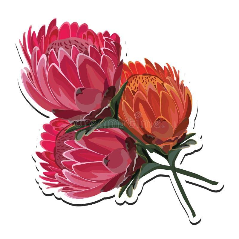 Διανυσματική απεικόνιση ανθοδεσμών λουλουδιών Protea ρόδινη και πορτοκαλιά διανυσματική απεικόνιση