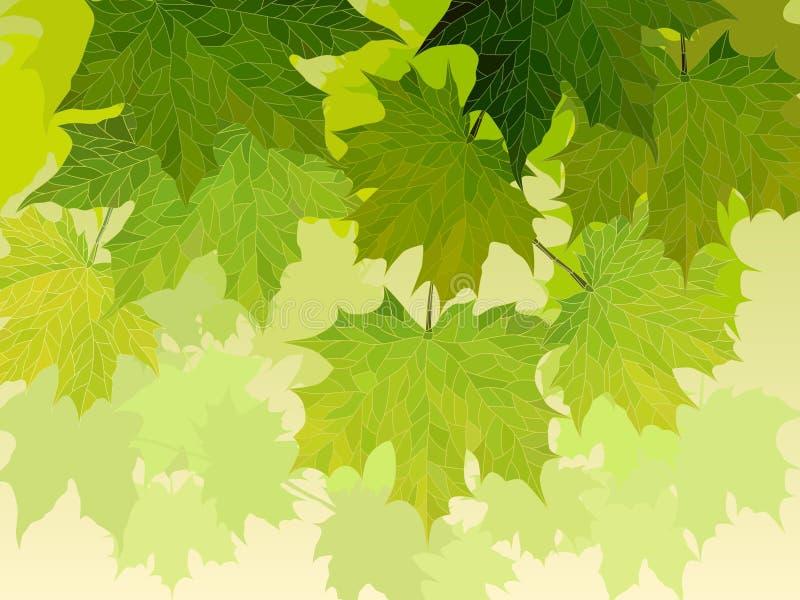 Κορώνα του δέντρου σφενδάμνου με τα πράσινα φύλλα. διανυσματική απεικόνιση