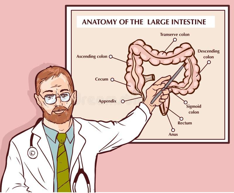 Διανυσματική απεικόνιση ενός γιατρού που εξηγεί το μεγάλο έντερο διανυσματική απεικόνιση