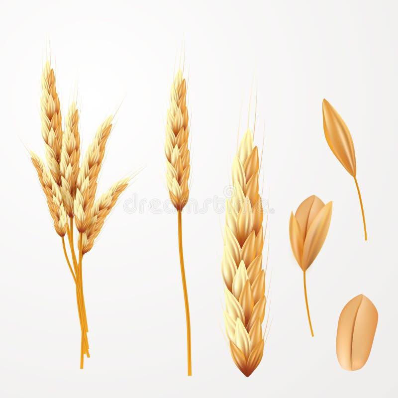 Διανυσματική απεικόνιση σίτου Δέσμη των αυτιών και του σπόρου σίτου που απομονώνονται διανυσματική απεικόνιση