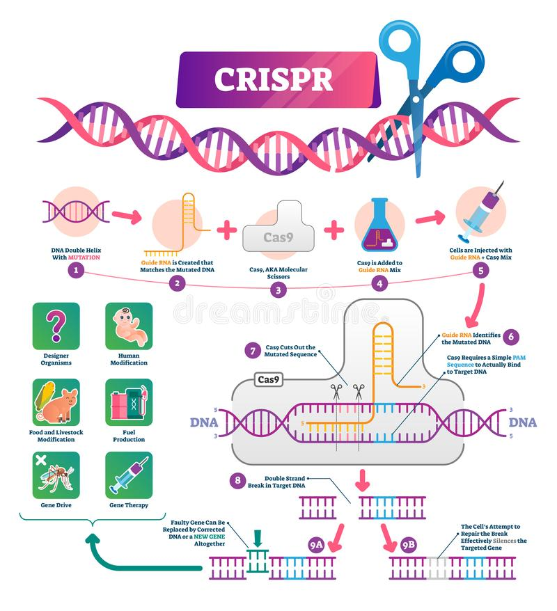 Διανυσματική απεικόνιση CRISPR Επονομαζόμενες συγκεντρωμένες τακτικά παλινδρομικές επαναλήψεις διανυσματική απεικόνιση