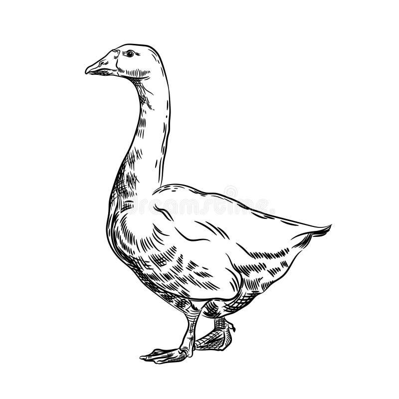 Διανυσματική εικόνα μιας χήνας Γεωργική απεικόνιση Εσωτερικό πουλί ελεύθερη απεικόνιση δικαιώματος