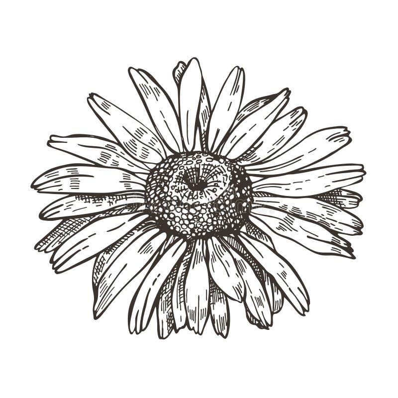 Διανυσματική εικόνα του λουλουδιού μαργαριτών Σχέδιο ύφους σκίτσων διανυσματική απεικόνιση