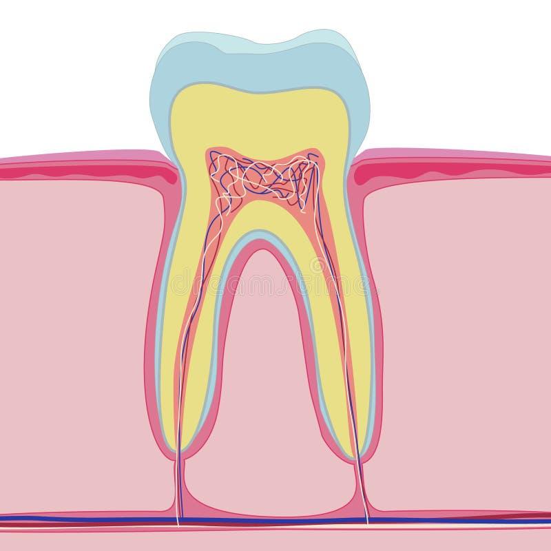 Διανυσματική δομή του ανθρώπινου δοντιού ανατομία στο άσπρο υπόβαθρο απεικόνιση αποθεμάτων