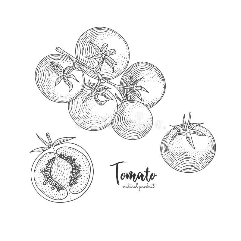 Διανυσματική συρμένη χέρι απεικόνιση ντοματών στο ύφος της χάραξης Οργανικά συρμένα χέρι στοιχεία Λαχανικά αγροτικής αγοράς ελεύθερη απεικόνιση δικαιώματος