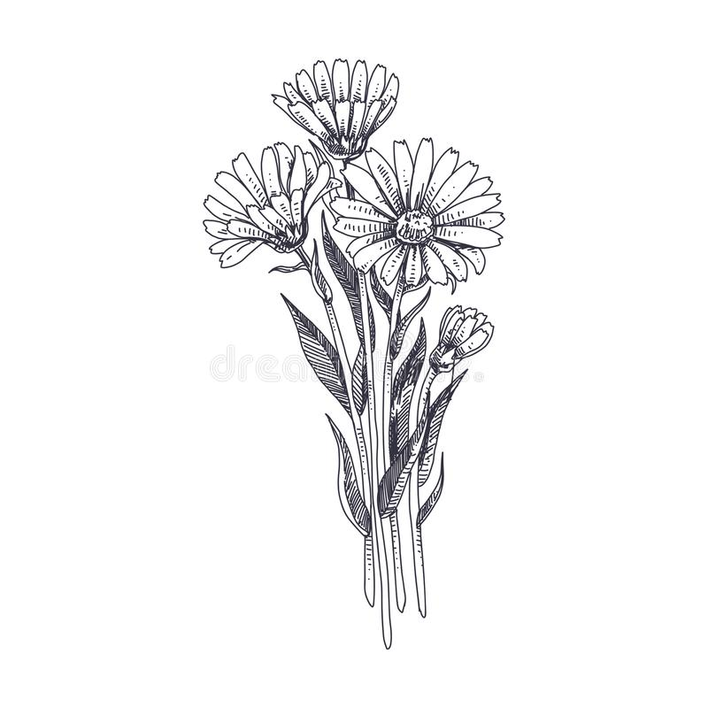 Διανυσματική συρμένη χέρι απεικόνιση χορταριών Calendula ιατρική απεικόνιση αποθεμάτων