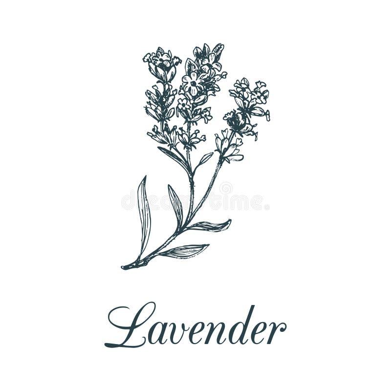 Διανυσματική lavender απεικόνιση κλάδων Συρμένο χέρι βοτανικό σκίτσο των εγκαταστάσεων στο ύφος χάραξης Χορτάρι που απομονώνεται  απεικόνιση αποθεμάτων