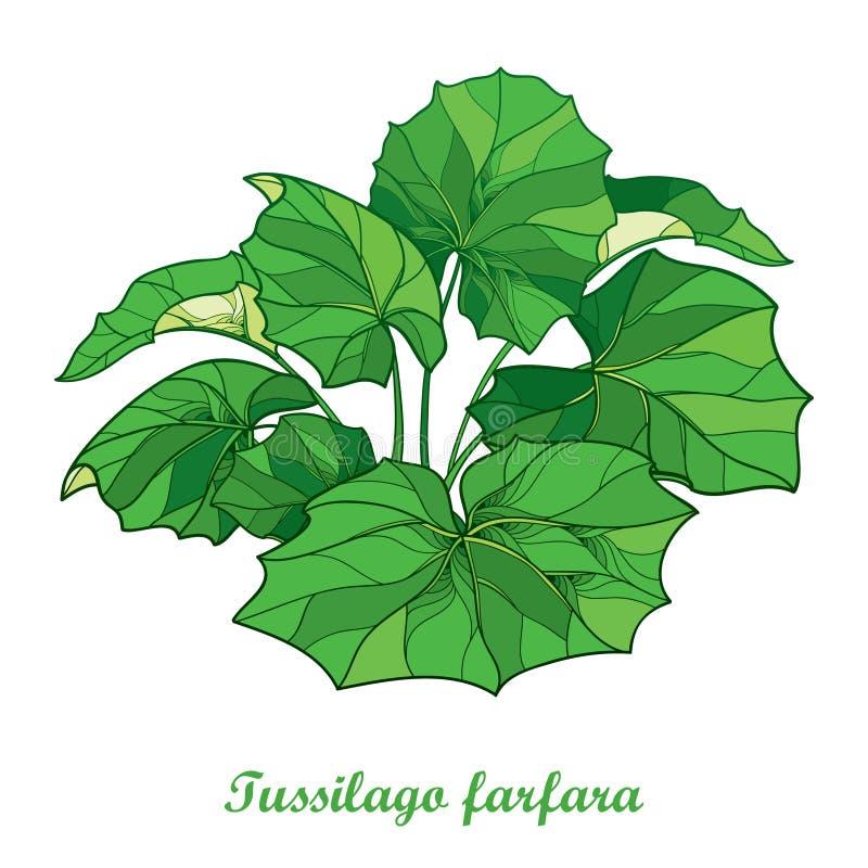 Διανυσματικός θάμνος με το farfara Tussilago περιλήψεων ή coltsfoot ή foalfoot με τα περίκομψα πράσινα φύλλα που απομονώνονται στ απεικόνιση αποθεμάτων