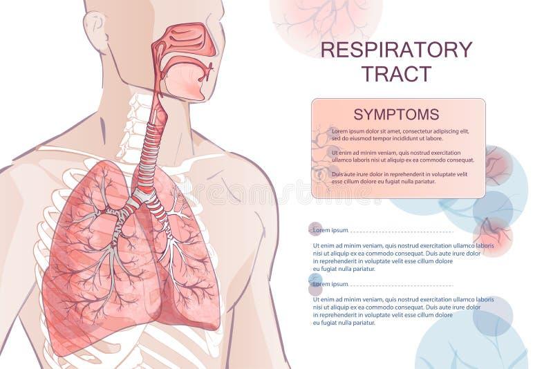 Διανυσματικό ανθρώπινο αναπνευστικό σύστημα διανυσματική απεικόνιση