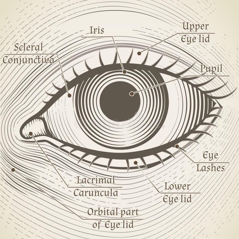 Διανυσματικό ανθρώπινο μάτι χαρακτική με τους τίτλους Κερατοειδής χιτώνας, ελεύθερη απεικόνιση δικαιώματος