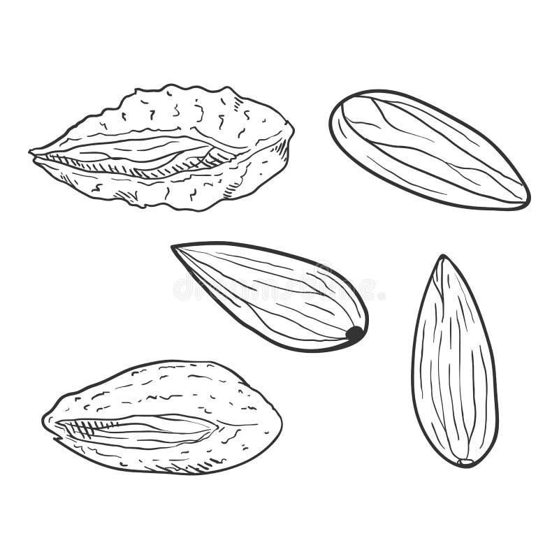 Διανυσματικό σύνολο καρυδιών αμυγδάλων σκίτσων ελεύθερη απεικόνιση δικαιώματος