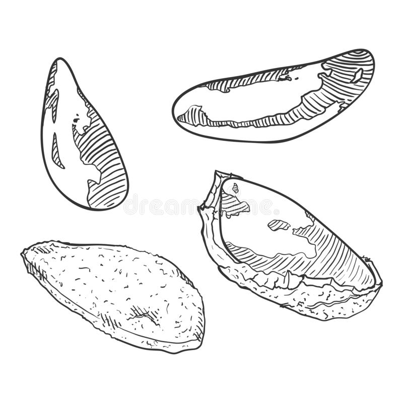 Διανυσματικό σύνολο σκίτσων βραζιλιάνων καρυδιών απεικόνιση αποθεμάτων