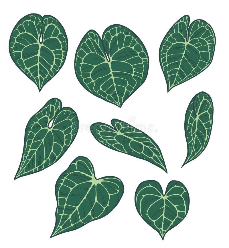 Διανυσματικό σύνολο συλλογής εξωτικών Anthurium σχεδίων φύλλων φυτού Clarinervium απεικόνιση αποθεμάτων