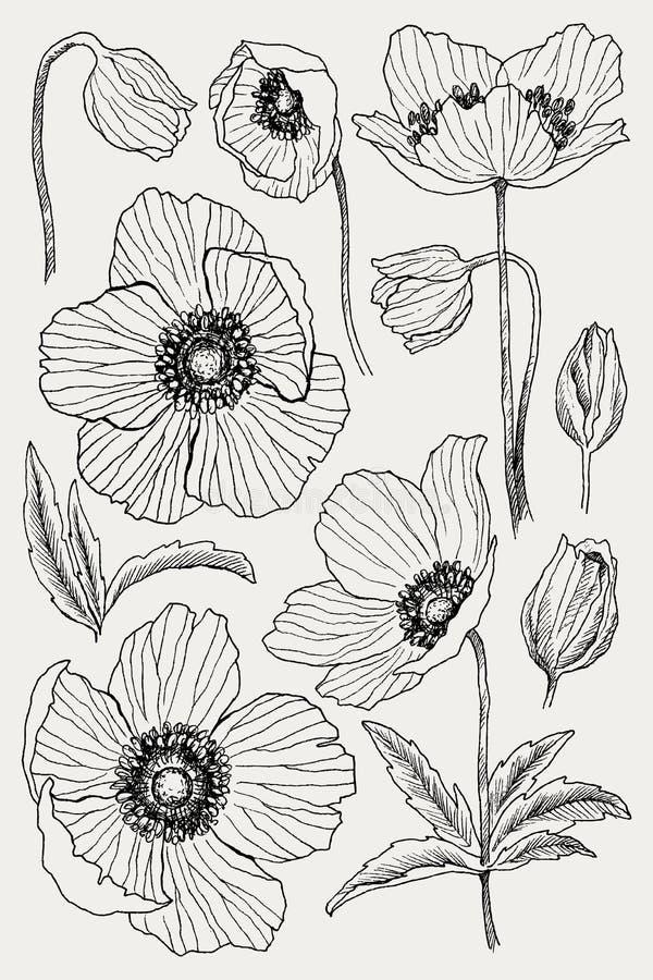Διανυσματικό σύνολο σχεδίων λουλουδιών Anemone Απομονωμένα άγριο φυτό και φύλλα Βοτανική χαραγμένη απεικόνιση ύφους λεπτομερής απεικόνιση αποθεμάτων