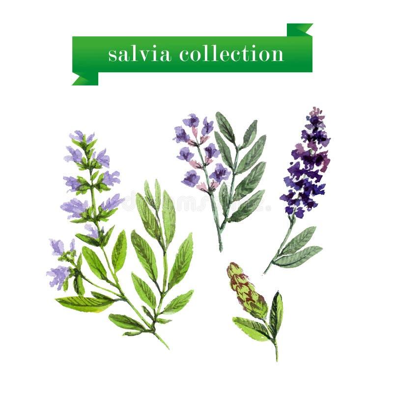 Διανυσματικό σύνολο κλαδίσκων salvia watercolor απεικόνιση αποθεμάτων