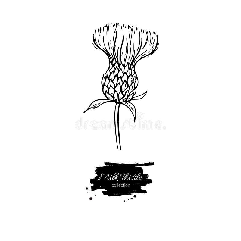 Διανυσματικό σύνολο σχεδίων λουλουδιών κάρδων γάλακτος Απομονωμένα άγριο φυτό και φύλλα Βοτανική χαραγμένη απεικόνιση ύφους απεικόνιση αποθεμάτων