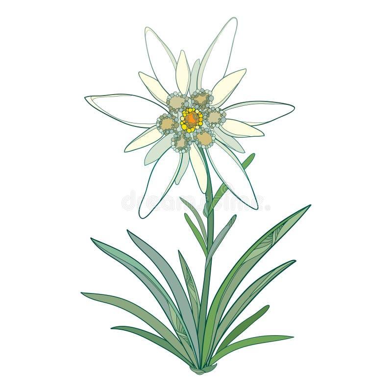 Διανυσματικό alpinum Edelweiss ή Leontopodium Ανθίζοντας λουλούδι και πράσινα φύλλα που απομονώνονται στο άσπρο υπόβαθρο Σύμβολο  απεικόνιση αποθεμάτων