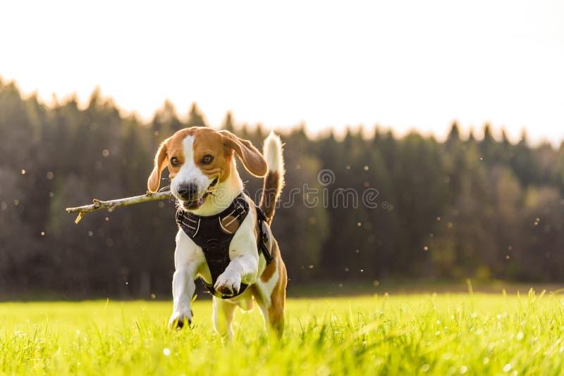 Διασκέδαση λαγωνικών τρεξίματος σκυλιών στοκ φωτογραφίες με δικαίωμα ελεύθερης χρήσης