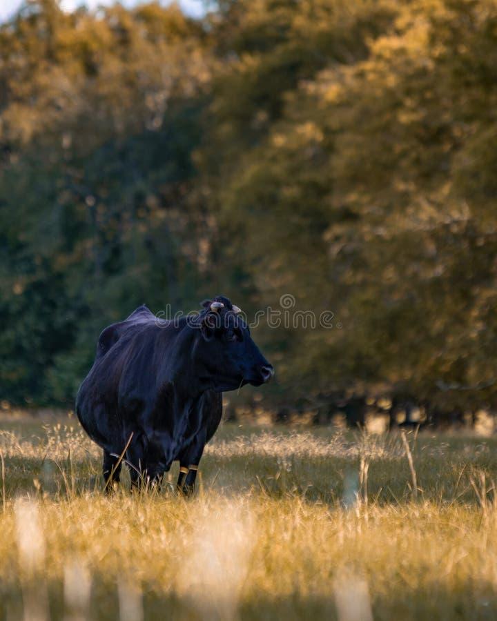 Διασταυρωμένη αγελάδα βόειου κρέατος του Angus που στέκεται στο λιβάδι πτώσης - κατακόρυφος στοκ εικόνες