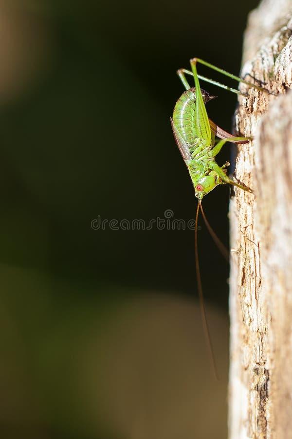 Διαστιγμένος τρυφερός γρύλος - oviposition στοκ εικόνα