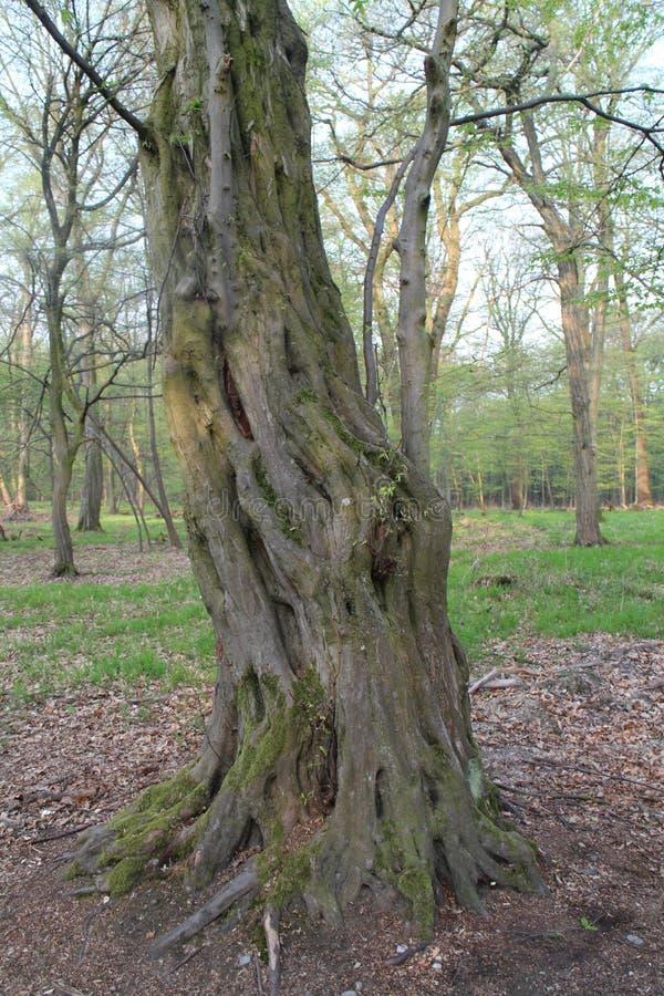 Διαστρεβλωμένος κορμός δέντρων σε πιό forrest κοντινό KaÄ  Ãn, Μπρατισλάβα στοκ εικόνες με δικαίωμα ελεύθερης χρήσης