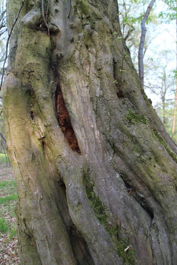Διαστρεβλωμένος κορμός δέντρων σε πιό forrest κοντινό KaÄ  Ãn, Μπρατισλάβα στοκ εικόνα με δικαίωμα ελεύθερης χρήσης