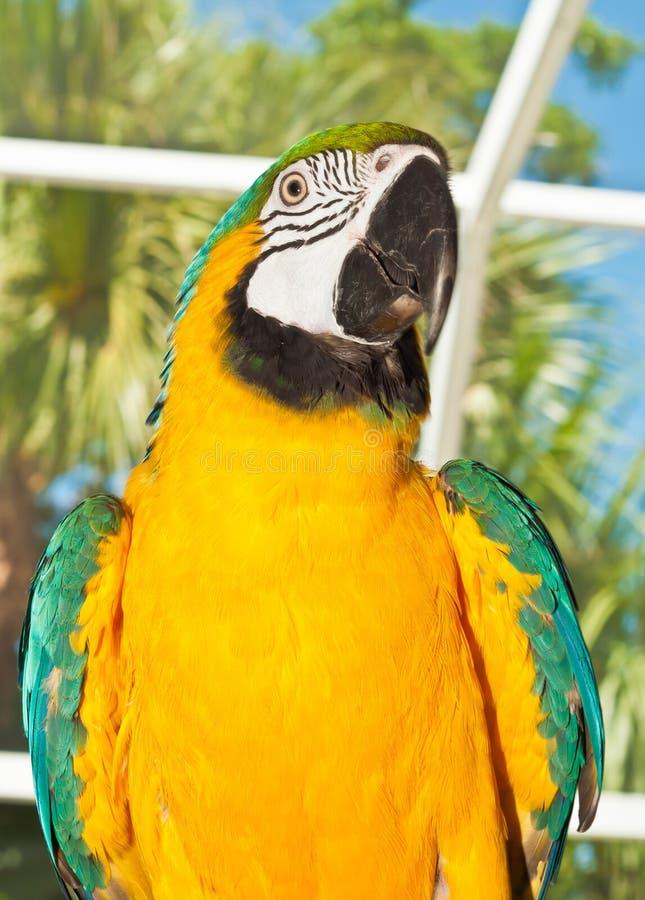 Διασωθείς παπαγάλος μπλε-χρυσού macaw στοκ φωτογραφίες