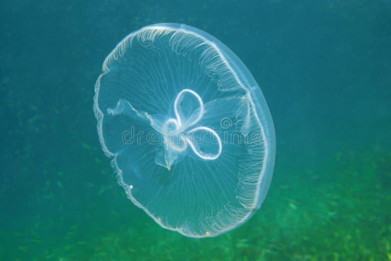 Διαφανές υποβρύχιο πλάσμα μεδουσών φεγγαριών στοκ εικόνα με δικαίωμα ελεύθερης χρήσης
