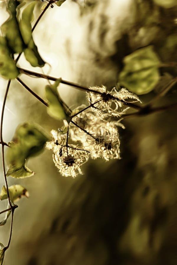 Διαφανές χρυσό dloom στοκ εικόνες