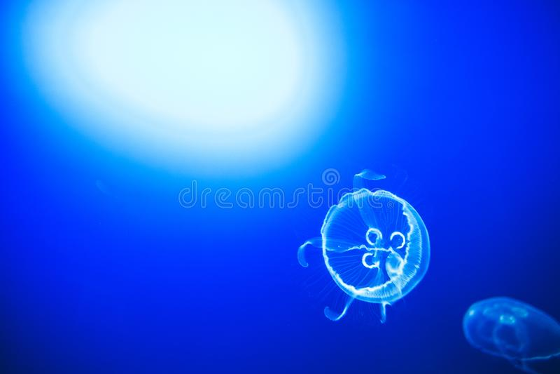 Διαφανείς μέδουσες φεγγαριών που κολυμπούν ομαλά στο βαθιά μπλε νερό στο San Sebastian, Ισπανία στοκ εικόνα με δικαίωμα ελεύθερης χρήσης