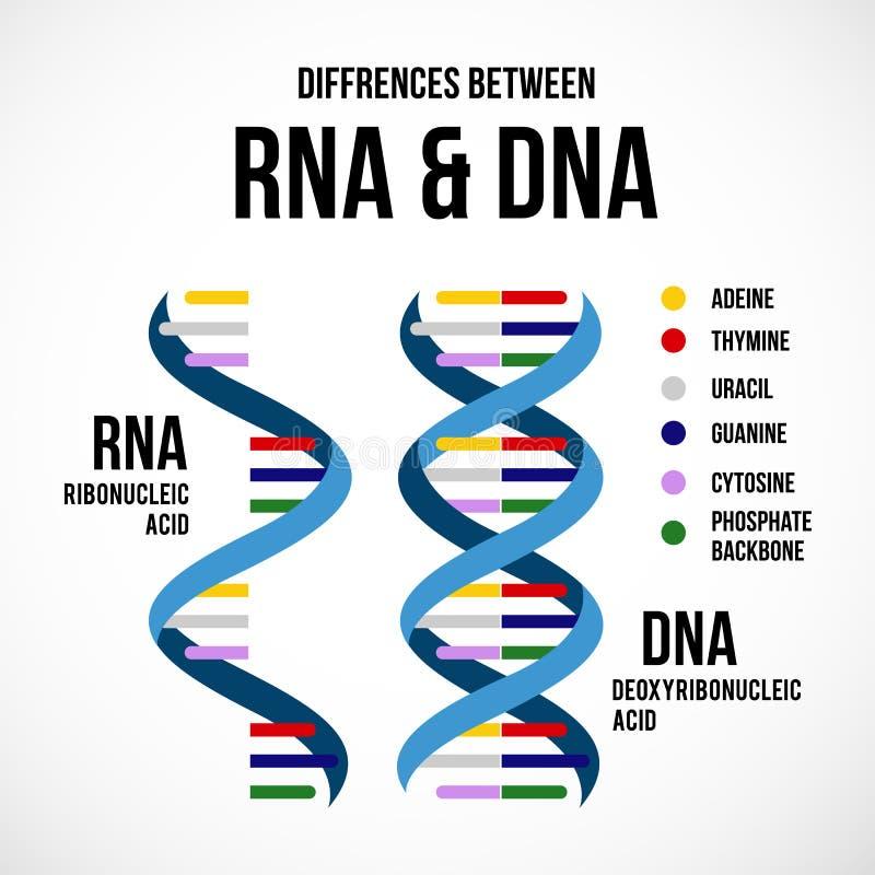 Διαφορές μεταξύ του DNA και του Rna διανυσματική απεικόνιση