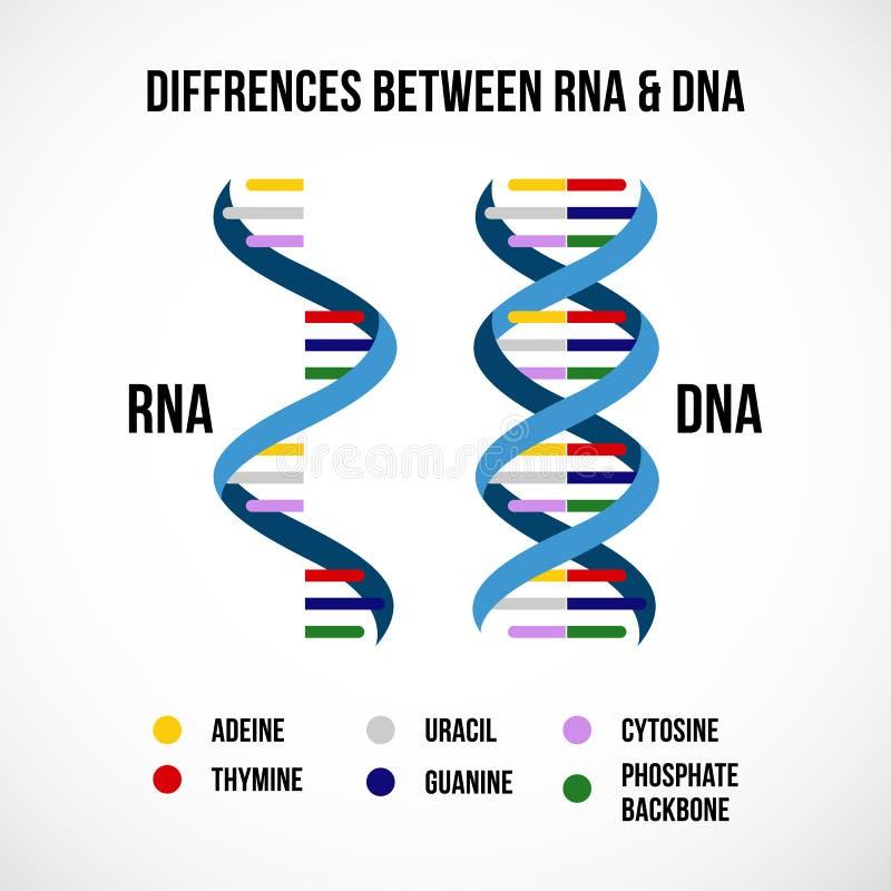 Διαφορές μεταξύ του DNA και του Rna ελεύθερη απεικόνιση δικαιώματος