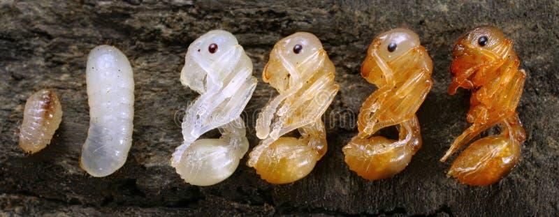 Ανάπτυξη μυρμηγκιών στοκ εικόνα με δικαίωμα ελεύθερης χρήσης