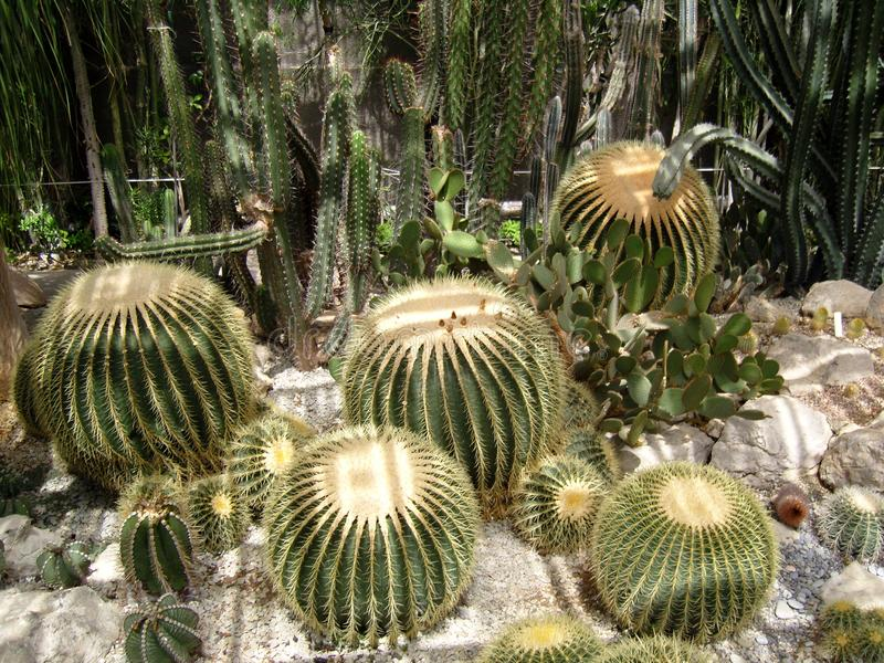 Διαφορετικές ποικιλίες των τραχιών σπονδυλικών στηλών κάκτων Globular στρογγυλοί βράχοι ξηρασίας εγκαταστάσεων κάκτων Πράσινος ξη στοκ φωτογραφία