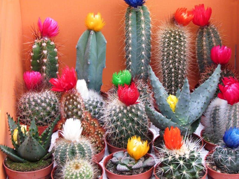Διαφορετικοί τύποι κάκτων με τα ζωηρόχρωμα λουλούδια στοκ εικόνα