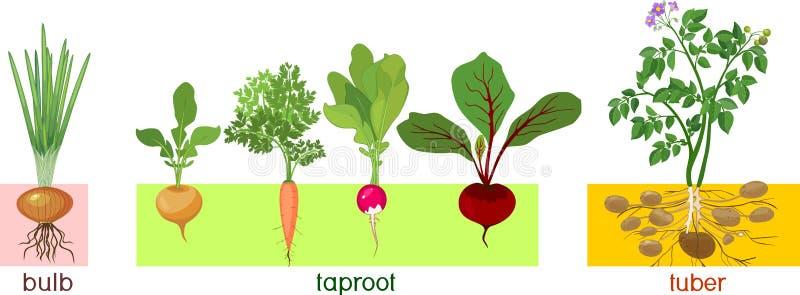 Διαφορετικοί τύποι λαχανικών ρίζας Φυτά με τα φύλλα και το σύστημα ρίζας ελεύθερη απεικόνιση δικαιώματος