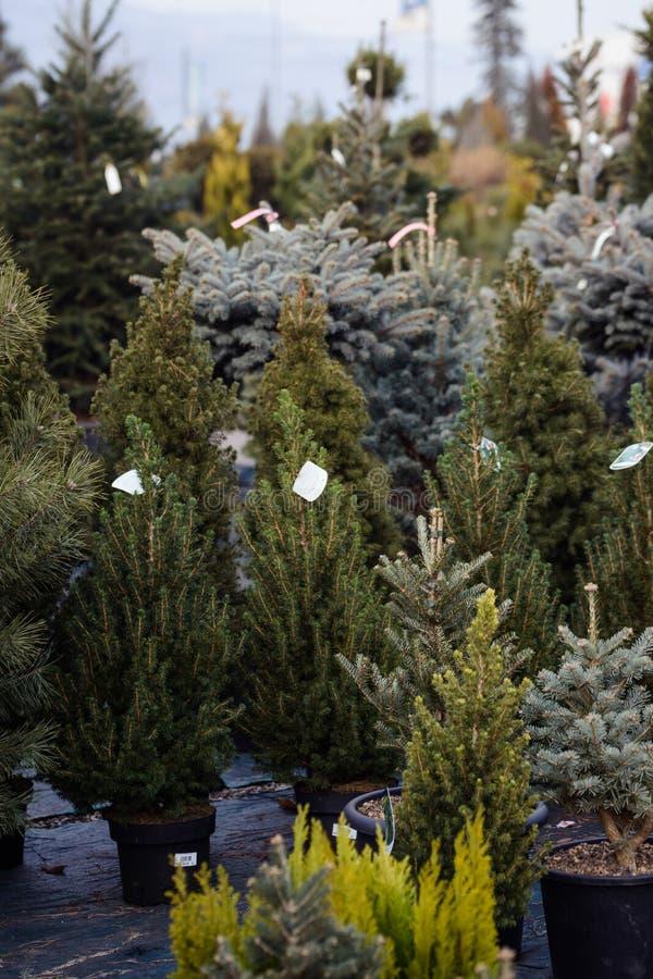 Διαφορετικοί τύποι χριστουγεννιάτικων δέντρων στα δοχεία για την πώληση στοκ φωτογραφίες με δικαίωμα ελεύθερης χρήσης