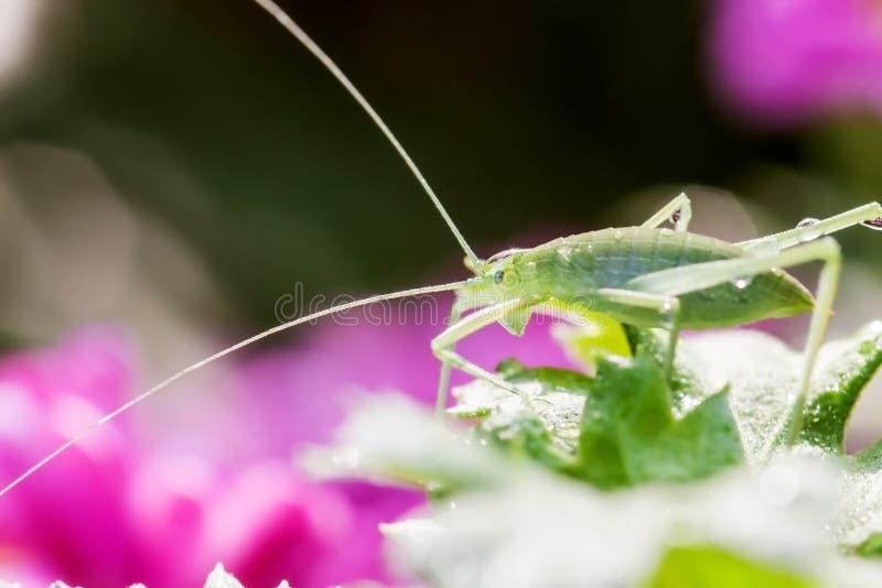 Διαφορικό Grasshopper που τρώει ένα φύλλο στοκ φωτογραφία