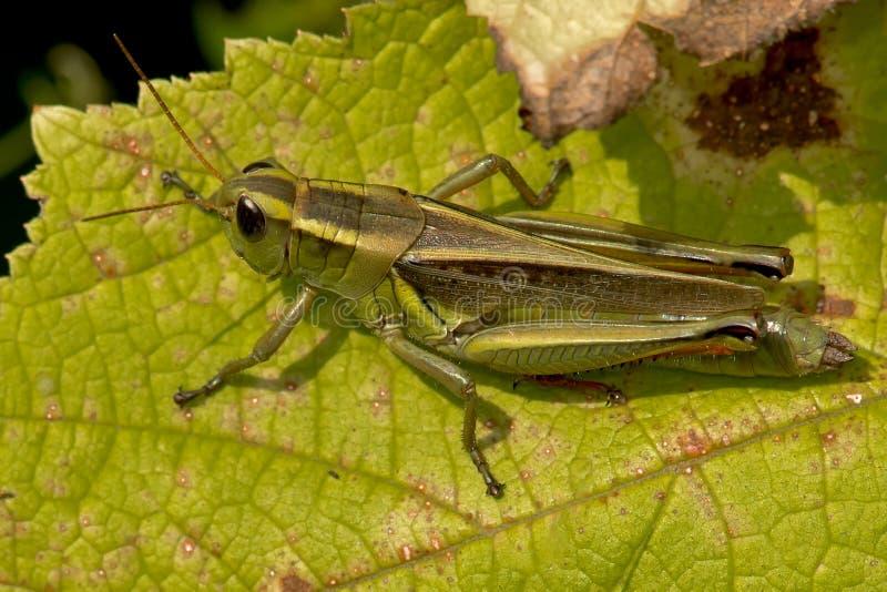 Διαφορικό Grasshopper στοκ εικόνες με δικαίωμα ελεύθερης χρήσης