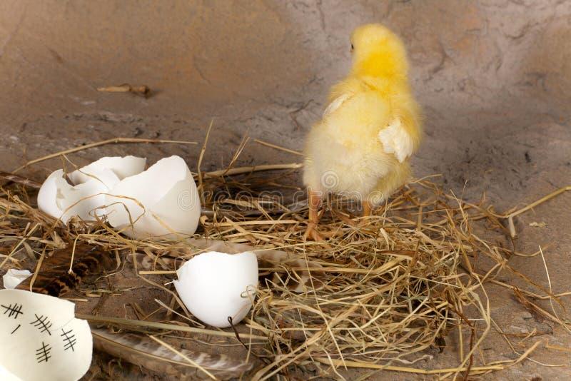 Διαφυγές νεοσσών από το αυγό στοκ φωτογραφίες